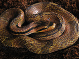 False Water Cobra (Hydrodynastes Gigas), Captive, Native to South America Photographic Print by Michael Kern