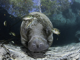 Endangered Florida Manatee, at Three Sisters Spring in Crystal River Photographic Print by David Fleetham