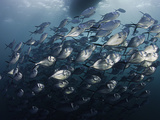 A School of Steel Pompano (Trachinotus Stilbe), Pacific Ocean, Gordon Rocks, Galapagos Islands Photographic Print by David Fleetham