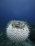 The Spotted Porcupine Fish (Diodon Hystrix) Feeds Primarily at Night on Hard- Shelled Invertebrates Photographic Print by David Fleetham