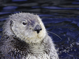 California Sea Otter (Enhydra Lutris), Central California, USA Photographic Print by David Fleetham