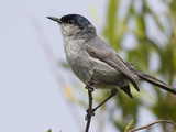 California Gnatcatcher (Polioptila Californica), San Diego County, California, USA Photographic Print by Richard Herrmann