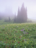 Foggy Meadow with Lupine and Indian Paintbrush Wildflowers, Mt. Rainier National Park, Washington Photographic Print by Adam Jones