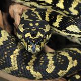 Darwin Carpet Python (Morelia Spilota Variegata), Captive Photographic Print by Michael Kern