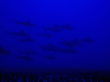 School of Scalloped Hammerhead Sharks (Sphyrna Lewini), Molokai, Hawaii, USA Lmina fotogrfica por David Fleetham