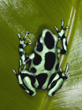 Green and Black Poison Dart Frog (Dendrobates Auratus), Costa Rica Photographic Print by Adam Jones