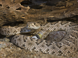A Coiled Western Diamondback Rattlesnake (Crotalus Atrox), Madera Canyon, Arizona, USA Photographic Print by Don Grall