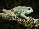 Waxy Monkey Tree Frog (Phyllomedusa Sauvagei), Captive Photographic Print by Michael Kern