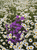 Meadow of Oxeye Daisies, Chrysanthemum Leucanthemum Photographic Print by Adam Jones
