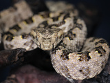 Three Horned-Scaled Pit Viper (Protobothrops Sieversorum), Captive Photographic Print by Michael Kern