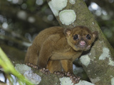 Kinkajou (Potos Flavus), Cockscomb Basin Wildlife Sanctuary, Belize Photographic Print by Thomas Marent