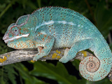 Panther Chameleons (Furcifer Pardalis) are Native to Ambanja, Madagascar, Captive Photographic Print by Michael Kern