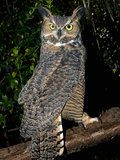 Great Horned Owls (Bubo Virginianus) Native to North America and in Central and South America Photographic Print by Michael Kern