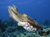 Broadclub Cuttlefish Swimming over Coral Reef (Sepia Latimanus) Komodo Photographic Print by David Fleetham