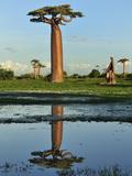 Grandidier´S Baobab (Adansonia Grandidieri), Near Morondava, Madagascar Photographic Print by Thomas Marent