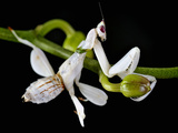 Orchid Mantis (Hymenopus Coronatus), Captive Photographic Print by Michael Kern