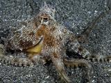 The Endemic Short-Armed Sand Octopus (Amphioctopus Arenicola), Maui, Hawaii, USA Fotoprint van David Fleetham