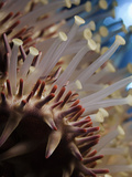 Spines and Tube Feet of a Crown-Of-Thorns Starfish (Acanthaster Planci), Hawaii, USA Photographic Print by David Fleetham