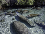 Florida Manatee Group in the Crystal River Photographic Print by David Fleetham