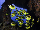Schooling Raccoon Butterflyfish (Chaetodon Lunula) Off the Island of Lanai, Hawaii, USA Photographic Print by David Fleetham
