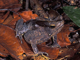 Toad (Bufo) Camouflaged on Leaves on the Forest Floor, Amacayacu National Park, Colombia Photographic Print by Thomas Marent