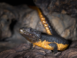 Flame Bellied Girdled Lizard (Cordylus Mossambicus), Native to Mozambique, Captive Photographic Print by Michael Kern