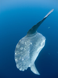 Ocean Sunfish (Mola Mola) Off San Diego, California, USA Photographic Print by Richard Herrmann