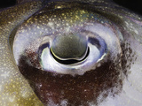 Close Up of the Eye of a Papuan Cuttlefish (Sepia Papuensis), Indonesia Photographic Print by David Fleetham