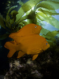 The Garibaldi (Hypsypops Rubicundus) Is the State Fish of California Photographic Print by David Fleetham