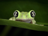 Lemur Leaf Frog (Hylomantis Lemur), Central America, Captivity Photographic Print by Michael Kern