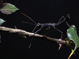 Peruvian Black Stick Insect (Peruphasma Schultei), Captive Photographic Print by Michael Kern