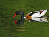 Common Shelduck, Tadorna Tadorna Photographic Print by Adam Jones