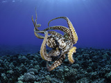Female Day Octopus (Octopus Cyanea) Showing Suckers, Pacific Ocean, Maui, Hawaii Photographic Print by David Fleetham