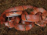 Arabian Tiger Snake (Telescopus Dhara), Captive Photographic Print by Michael Kern