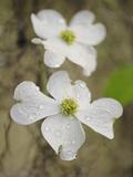Flowering Dogwood Tree Blossom, South Carolina, Cornus Florida Fotografisk tryk af Adam Jones