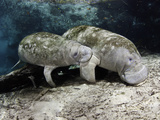 Endangered Florida Manatee Mother and Calf, Three Sisters Spring in Crystal River Photographic Print by David Fleetham