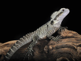 Australian Water Dragon (Physignathus Lesueurii), Captive Photographic Print by Michael Kern