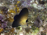 A Juvenile Twotone or Scopas Tang (Zebrasoma Scopas), Tubbataha Reef, Philippines Photographic Print by David Fleetham