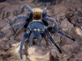 Greenbottle Blue Tarantula (Cromatopelma Cyaneopubescens) Captive, Native to Venezuela Photographic Print by Michael Kern