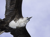 An Adolescent Magnificent Frigatebird (Fregata Magnificens) in Flight over Santa Cruz Island Reproduction photographique par David Fleetham