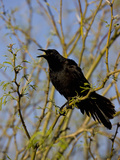 Great-Tailed Grackle (Quiscalus Mexicanus), Sonoran Desert, Arizona, USA Photographie par Don Grall