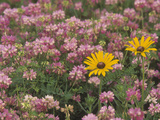 Meadow of Black-Eyed Susans, Rudbeckihirta, and Crown Vetch Photographic Print by Adam Jones
