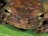 Giant Broad-Headed Treefrog Head (Osteocephalus Taurinus), Tuparro National Park, Colombia Photographic Print by Thomas Marent