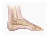 Biomedical Illustration of the Bones of the Human Foot and Ankle Giclee Print by Matthew Holt