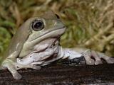 White's Dumpy Frog, Litoria Caerulea, Captive Photographic Print by Adam Jones