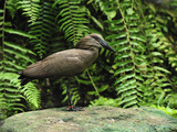Hamerkop (Scopus Umbretta), Masoala National Park, Madagascar Photographic Print by Thomas Marent