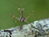 Praying Mantis on Tree Bark (Liturgusella Malagassa), Liturgusidae, Andasibe-Mantadia National Park Photographic Print by Thomas Marent