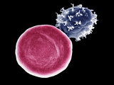 Red and White Blood Cells, SEM Photographic Print by Stanley Flegler