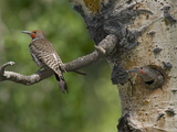 Red-Shafted Flickers (Colaptes Auratus) at the Nest Hole in an Aspen Tree Photographic Print by Don Grall