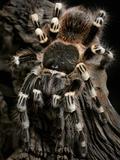 Brazilian Whiteknee Tarantula (Acanthoscurria Geniculata), Captive Photographic Print by Michael Kern